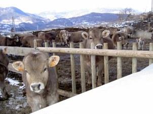 vaques de carn